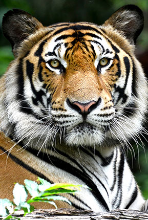 Bengal Kaplanı